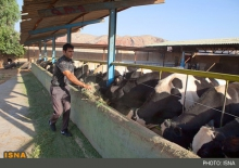تعطیلی 47 درصد از واحدهای پرورش گاو شیری در همدان