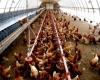 مرغها پایی برای فرار از شایعات ندارند