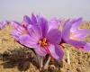 سوء استفاده از زعفران اصیل ایرانی با برند اسپانیایی