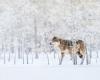 گرگ در همدان
